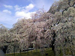 サクラサク、咲きますように。桜づくし。。。_e0060341_14321117.jpg