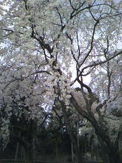 サクラサク、咲きますように。桜づくし。。。_e0060341_1432203.jpg