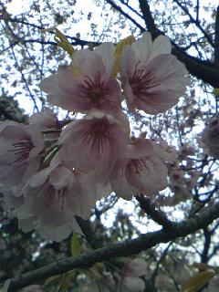 サクラサク、咲きますように。桜づくし。。。_e0060341_1432308.jpg