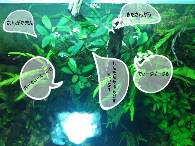 """Bucephalandra sp. """"北Sanggau"""" Kab.Sanggau #1_e0213248_2343537.jpg"""