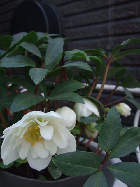 オークリーフ(モノトーンの花)_f0049672_13581283.jpg