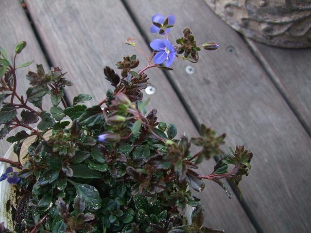 オークリーフ(モノトーンの花)_f0049672_1425633.jpg