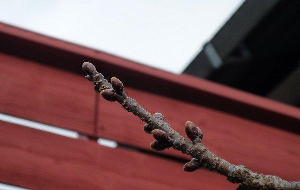 春待ちの植物たち 「緋寒桜」①_d0030373_12592870.jpg