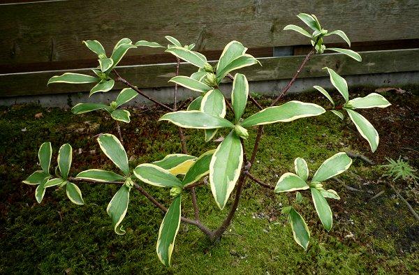 春待ちの植物たち「沈丁花」①_d0030373_23292642.jpg