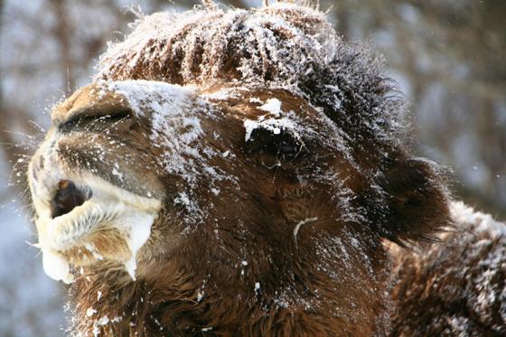 雪ラクダ_b0016600_22482059.jpg