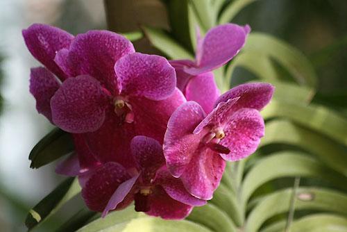 コゲラと、色が美しいバンダ_f0030085_1953492.jpg