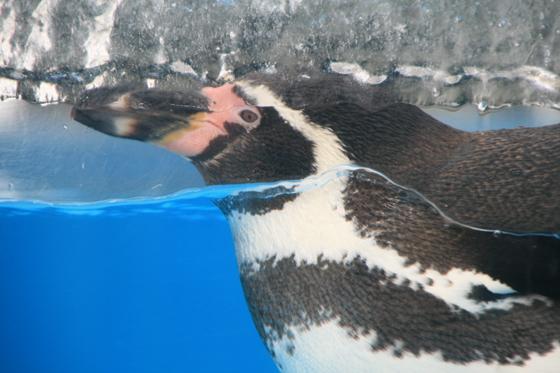 氷河ペンギン_b0016600_2322377.jpg