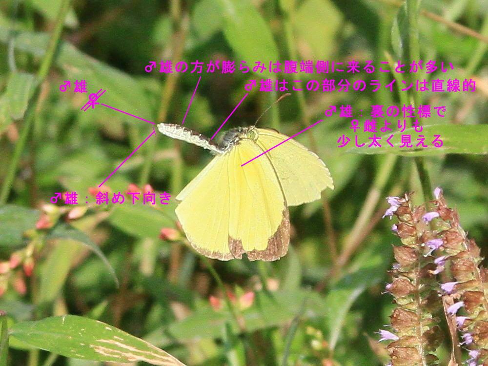 腹部形状差の研究  シロチョウ科・キタキチョウ_a0146869_7241552.jpg