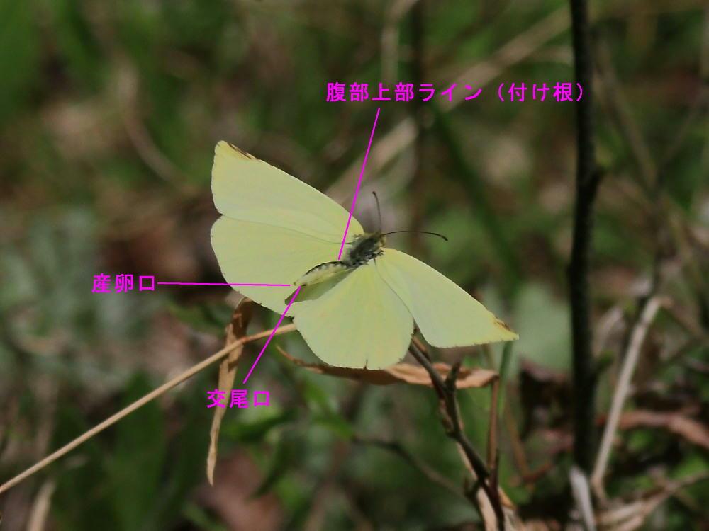 腹部形状差の研究  シロチョウ科・キタキチョウ_a0146869_7371633.jpg