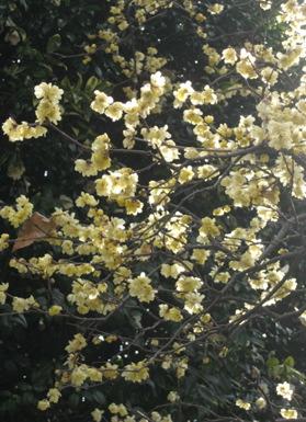 蝋梅の季節_f0061394_13151178.jpg