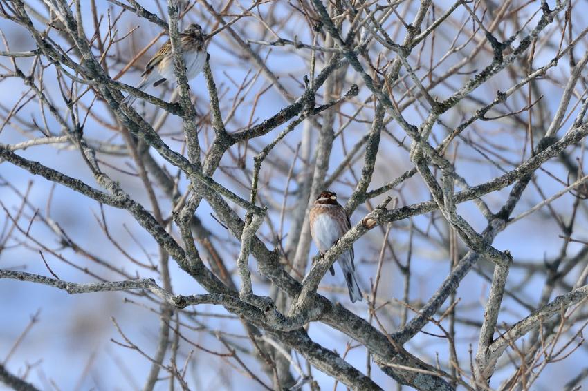 シラガホオジロ(Pine Bunting)〜2012.02根室_b0148352_18335440.jpg
