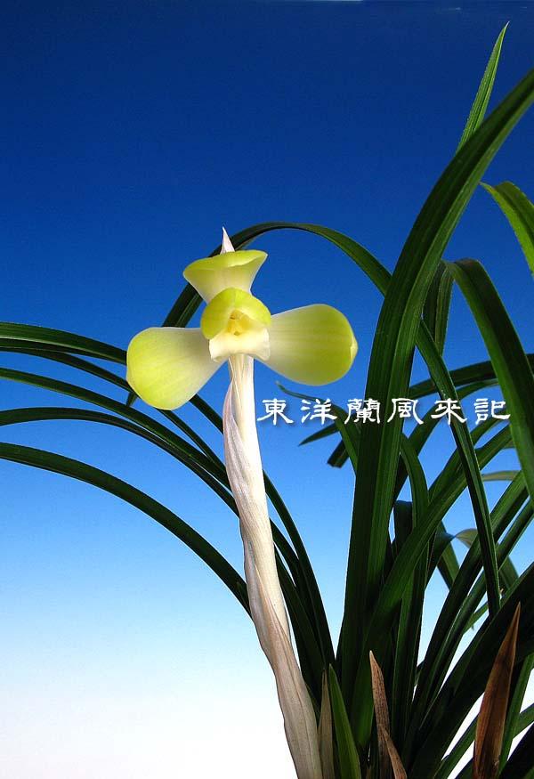 日本春蘭「天上梅」                 No.1117_d0103457_025109.jpg