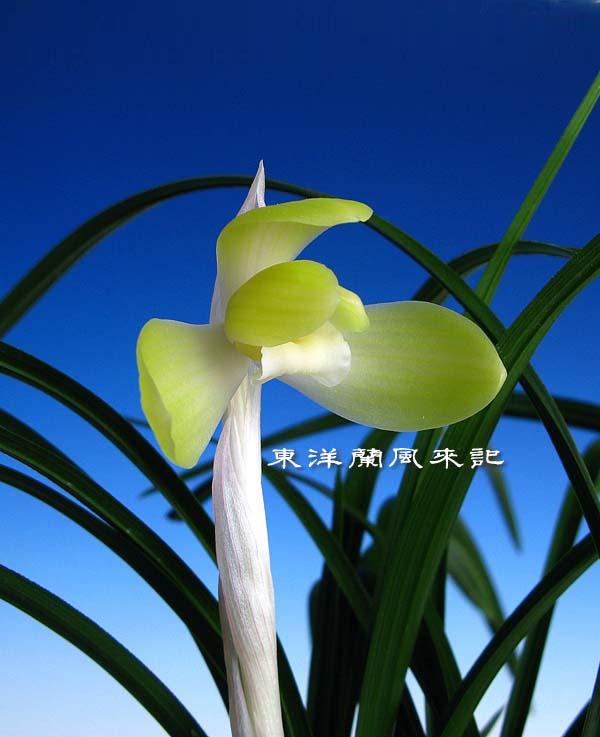 日本春蘭「天上梅」                 No.1117_d0103457_0252243.jpg