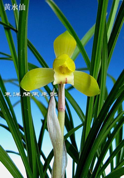 日本春蘭「天上梅」                 No.1117_d0103457_21243243.jpg