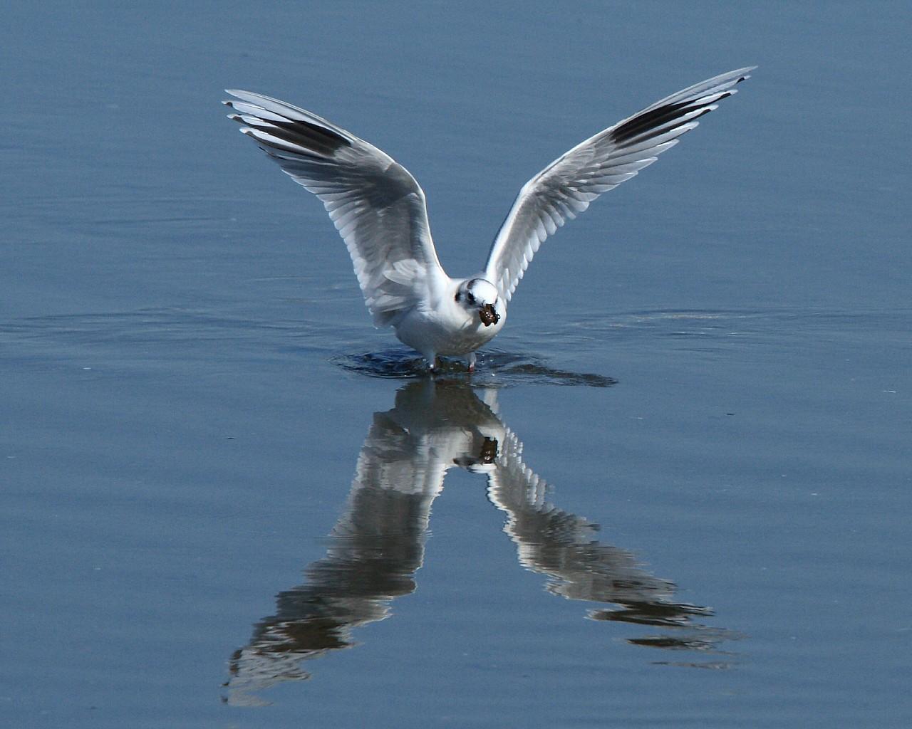 ズグロカモメが餌を咥えて着水(美しい野鳥の無料壁紙)_f0105570_20585097.jpg