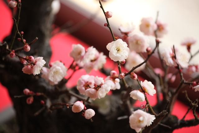 坂本盆梅展_c0196076_23525935.jpg