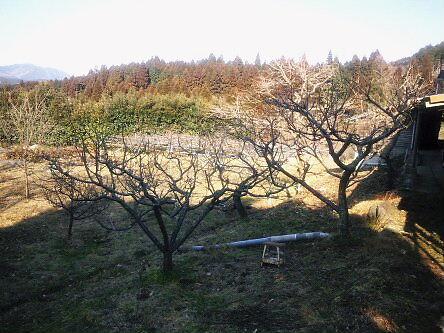 FLC日記 梅の木剪定っちゃいました_a0254656_162089.jpg