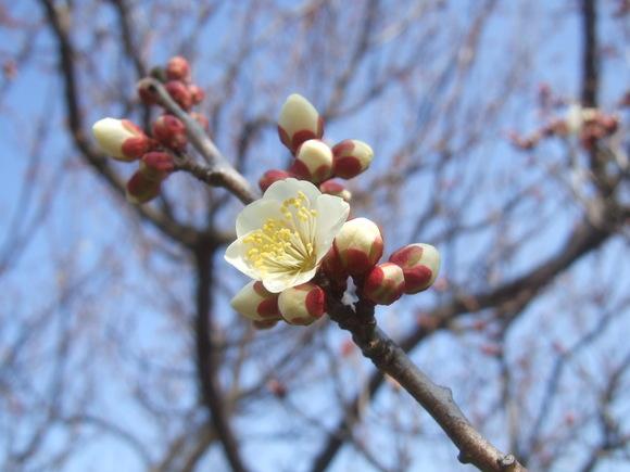 梅も桜も開花しました....もう少しで満開!_b0137932_9264540.jpg
