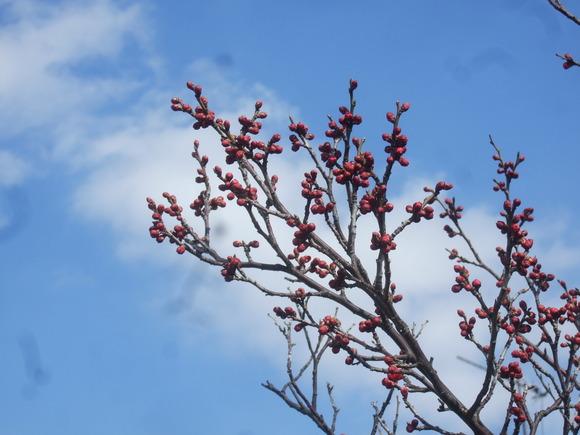 梅も桜も開花しました....もう少しで満開!_b0137932_9272099.jpg