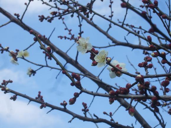 梅も桜も開花しました....もう少しで満開!_b0137932_9273855.jpg