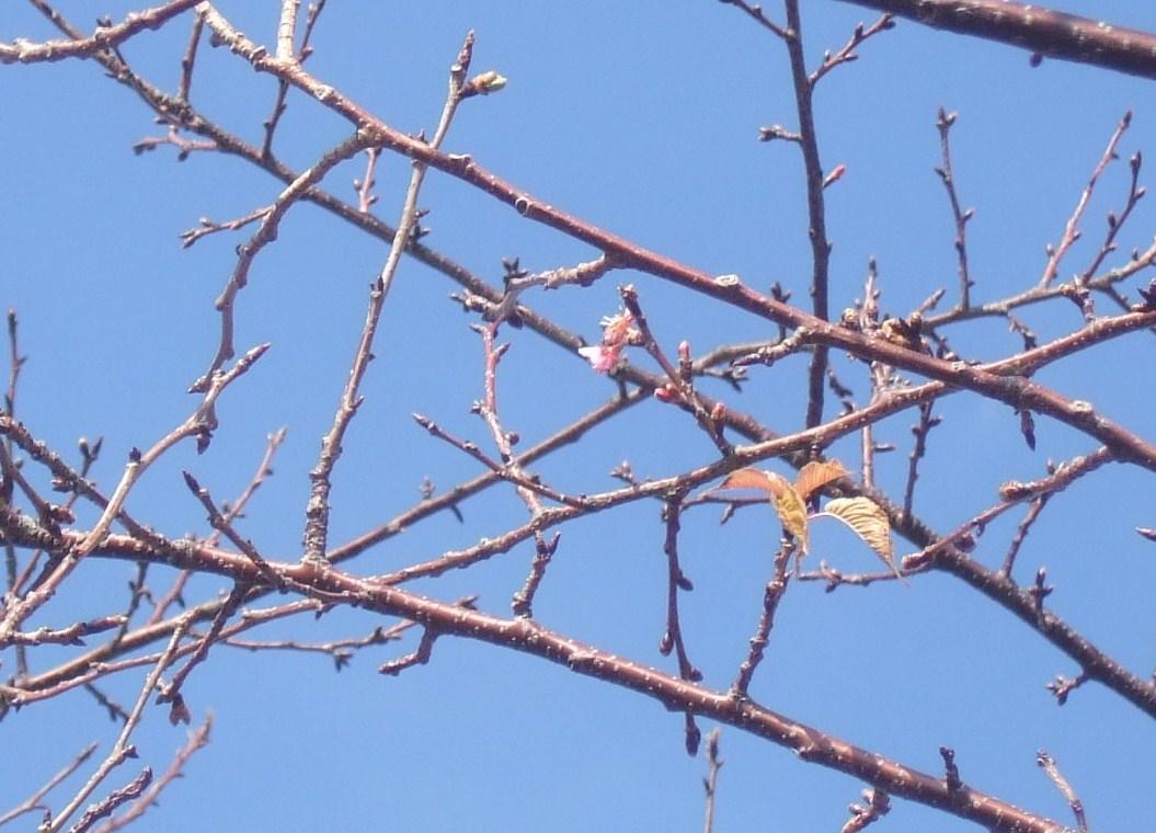 梅も桜も開花しました....もう少しで満開!_b0137932_9331618.jpg