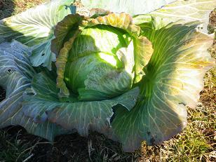 久しぶりの野菜収穫_a0139242_6113767.jpg