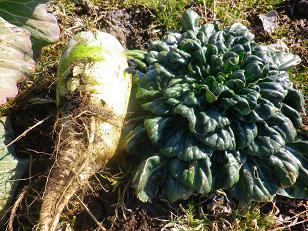 久しぶりの野菜収穫_a0139242_6125845.jpg