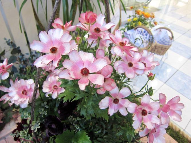 第4回パンジー・ビオラ個人育種家の展示会・最終日のお客様は花咲かじいさんそして、東京、山梨から_b0137969_18292849.jpg