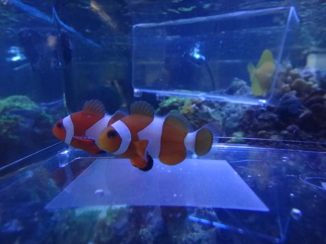 120215 海水魚・水草・淡水魚_f0189122_138323.jpg