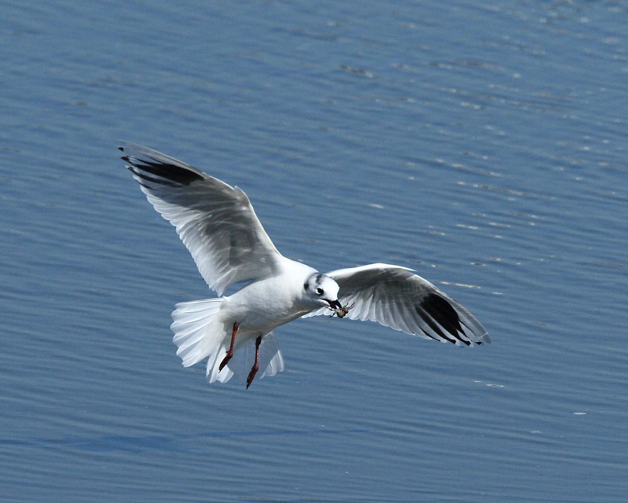 ズグロカモメがカニを咥えて飛翔(美しい野鳥の無料壁紙)_f0105570_2133444.jpg