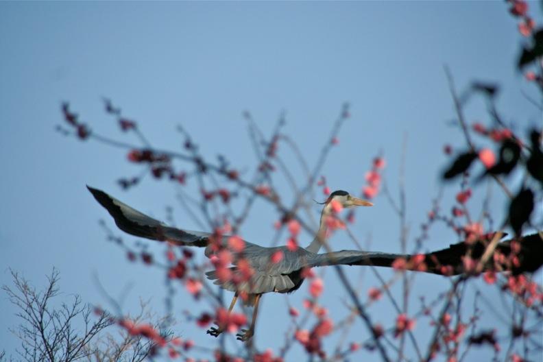 青鷺(成鳥)_d0133581_16505638.jpg