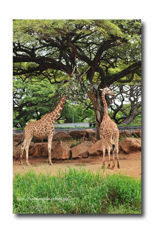 さかなや家族 旅行 in Hawaii 〜 3日目 〜 Honolulu Zoo_d0069838_10334136.jpg