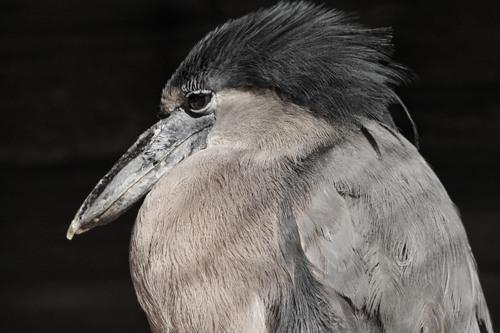 ヒロハシサギ:Boat-billed Heron_b0249597_5175255.jpg