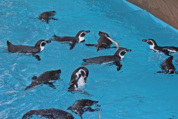 新ペンギン舎OPEN!その2_d0227252_18164837.jpg