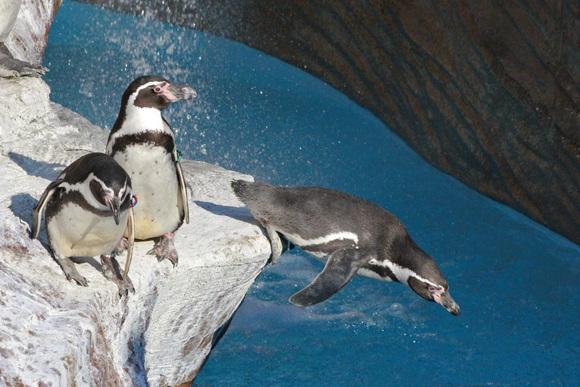 新ペンギン舎OPEN!その2_d0227252_18174932.jpg