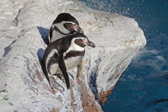 新ペンギン舎OPEN!その2_d0227252_18185618.jpg