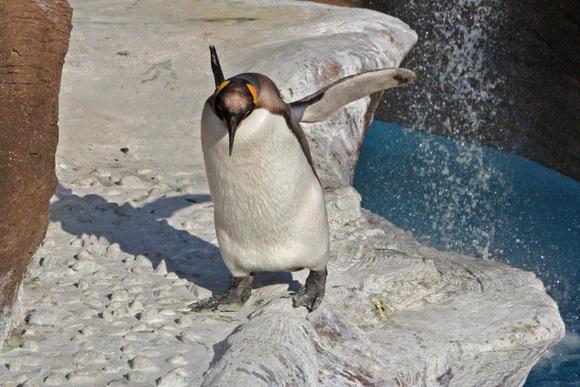 新ペンギン舎OPEN!その2_d0227252_18283358.jpg