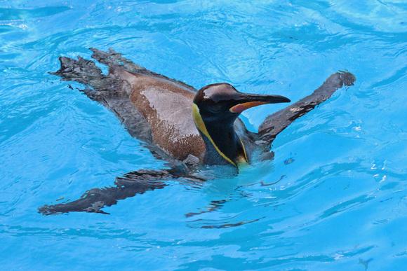 新ペンギン舎OPEN!その2_d0227252_1840890.jpg