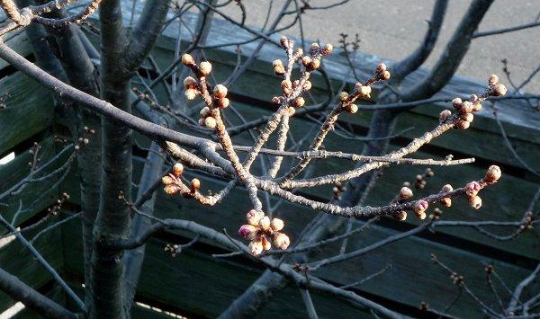 春待ちの植物たち 「緋寒桜」②_d0030373_18151079.jpg