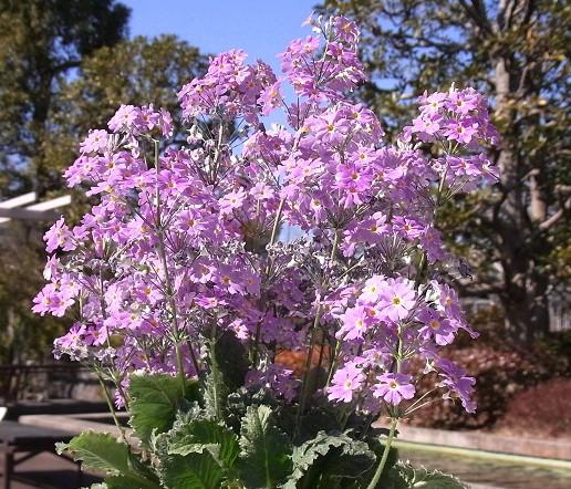 春先の花、プリムラ、マンサク :...