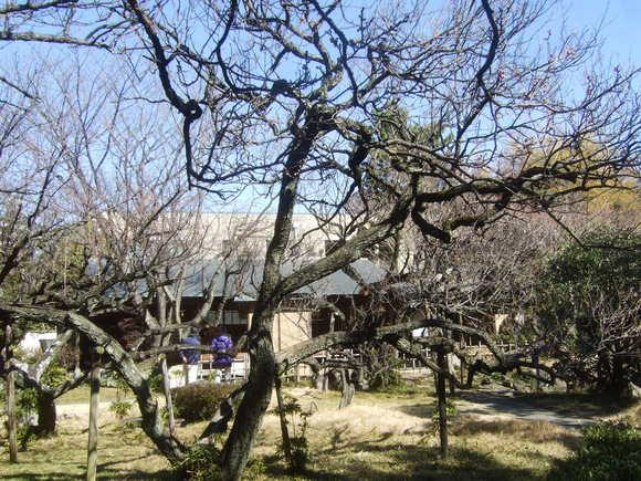 畑は雪...こちらは梅の花_b0137932_10481180.jpg