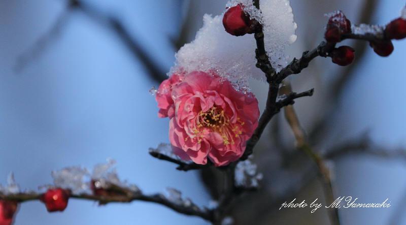 雪化粧の紅梅_c0217255_1993071.jpg