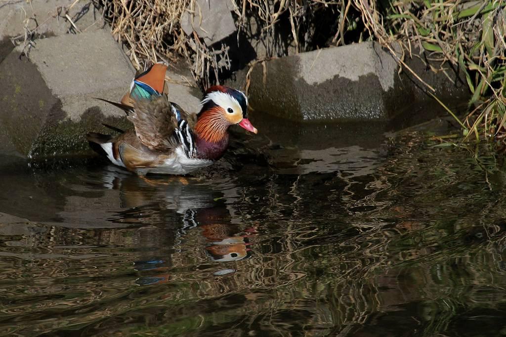 猛禽に襲われ傷ついた鳥達/世界らん展グランプリ_b0024798_11161122.jpg