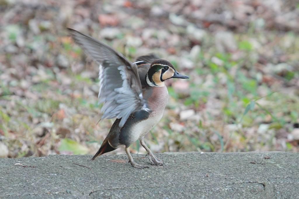 猛禽に襲われ傷ついた鳥達/世界らん展グランプリ_b0024798_11162456.jpg