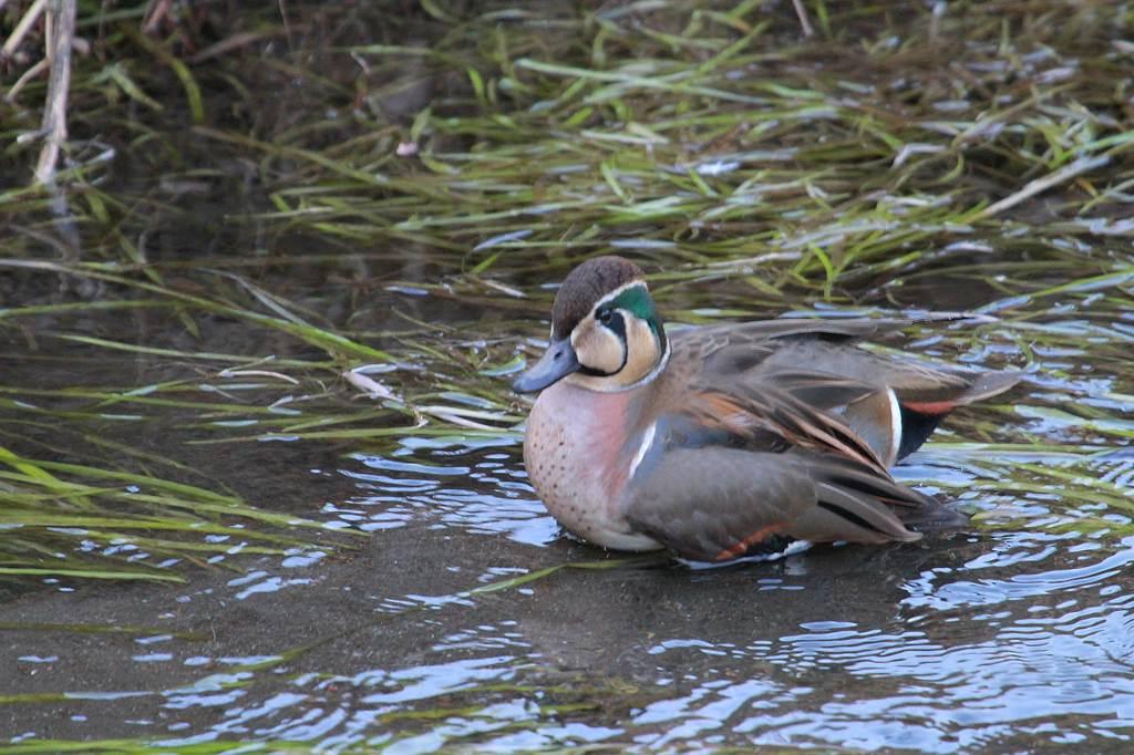 猛禽に襲われ傷ついた鳥達/世界らん展グランプリ_b0024798_11163398.jpg
