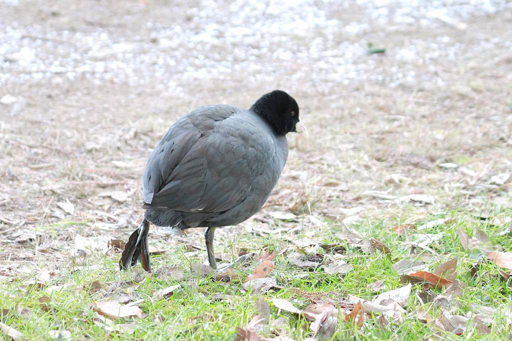 猛禽に襲われ傷ついた鳥達/世界らん展グランプリ_b0024798_11171838.jpg