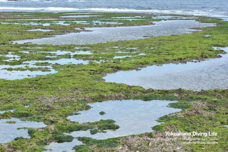 タイドプールと海藻_b0186442_2119486.jpg