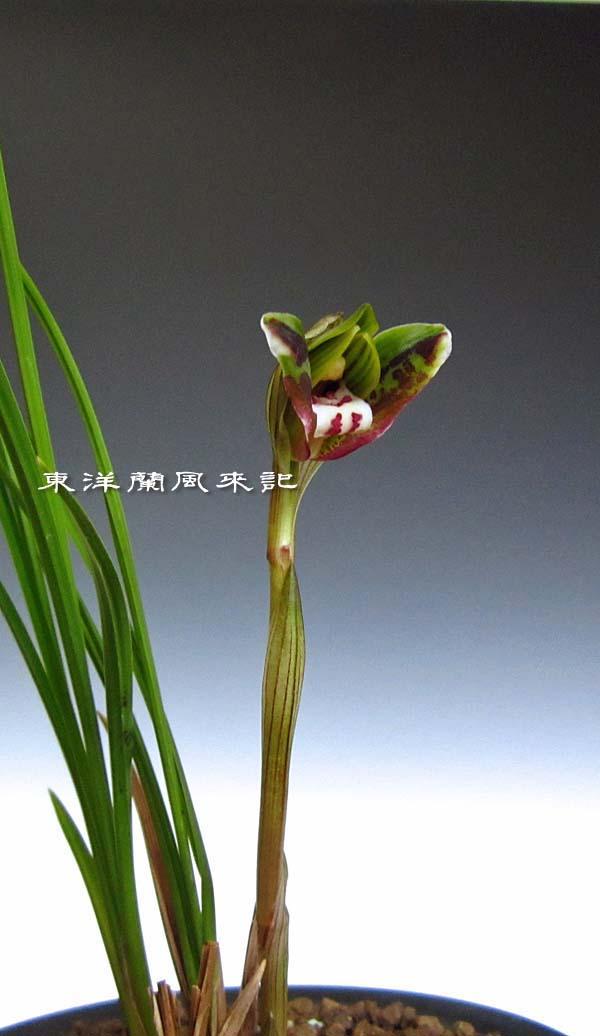 奥地蘭豆弁蘭「飛蝶」                 No.1122_d0103457_021361.jpg