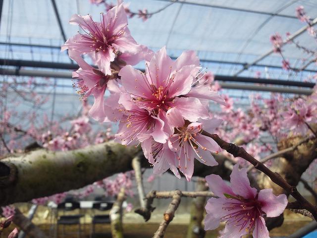 日本一早いお花見!!桜じゃないけど_b0151362_18354785.jpg