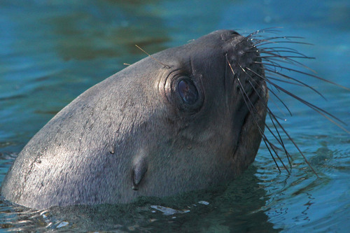 オタリア:South American Sea Lion_b0249597_530335.jpg